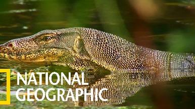 悠游於水陸環境的澤巨蜥