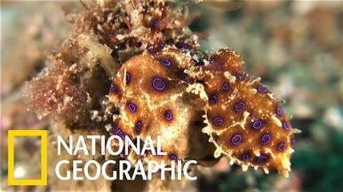 看藍環章魚制伏螃蟹