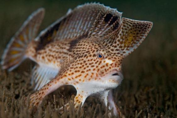有種會走路的怪魚滅絕了,牠的近親也會步上後塵嗎?