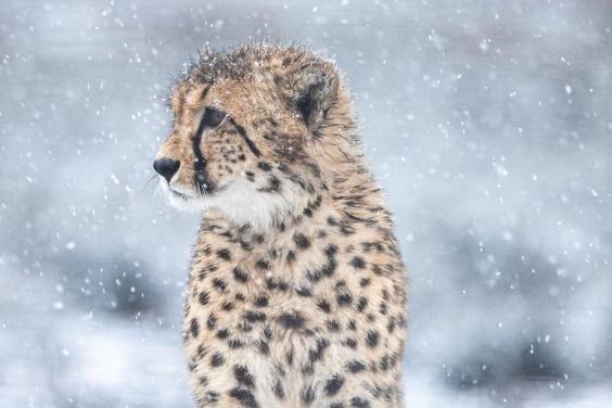 修但幾勒!雪地中竟然有獵豹?
