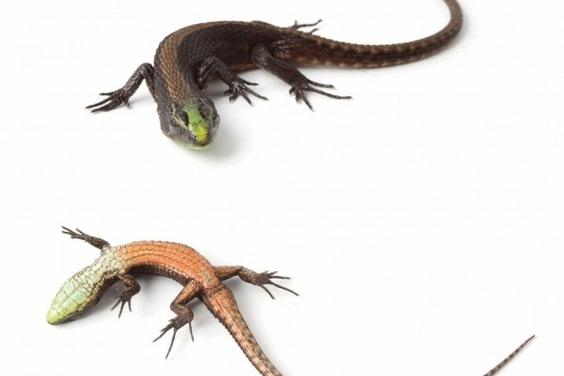 厄瓜多發現翡翠蜥蜴