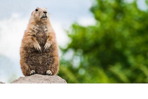 【動物好朋友】草原犬鼠(Prairie dog)