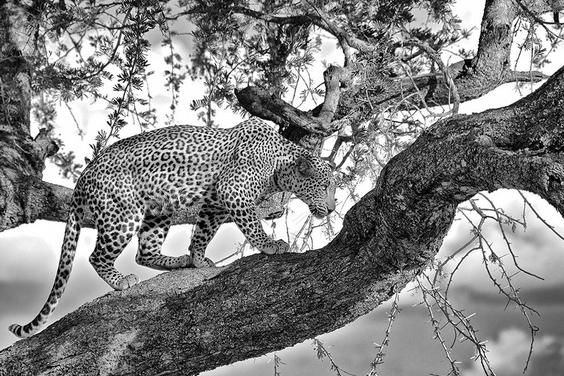 野性斑紋:獨行豹