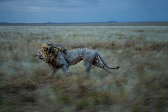 塞倫蓋蒂之獅