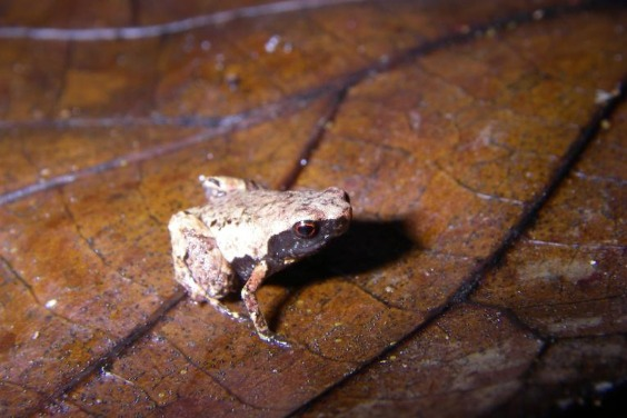 訂書針大小的新種「迷你」蛙,是目前所發現過體型最小的之一