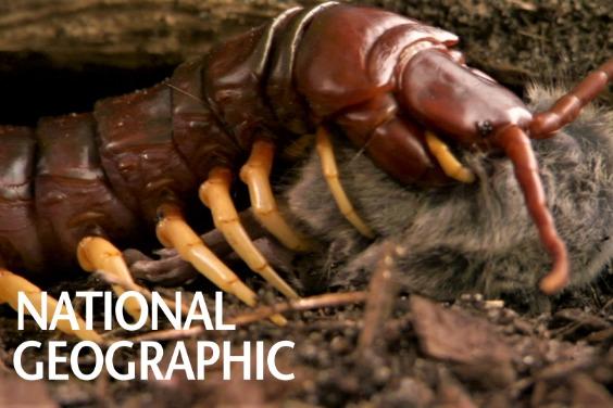 與巨人蜈蚣面對面