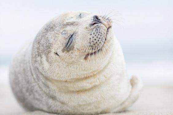 熱愛人群的海豹
