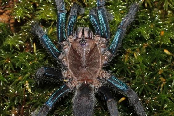 大傢伙來了!斯里蘭卡發現閃亮亮的新種藍色蜘蛛