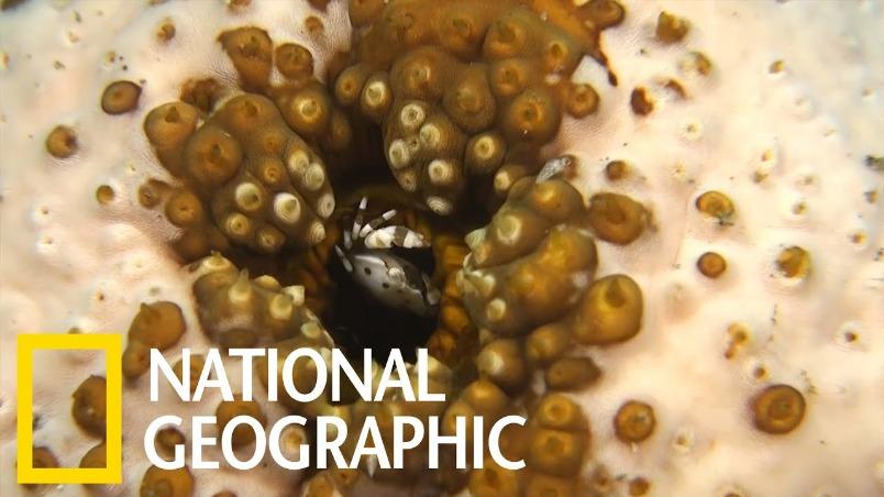 這隻小螃蟹住在海參的屁屁裡
