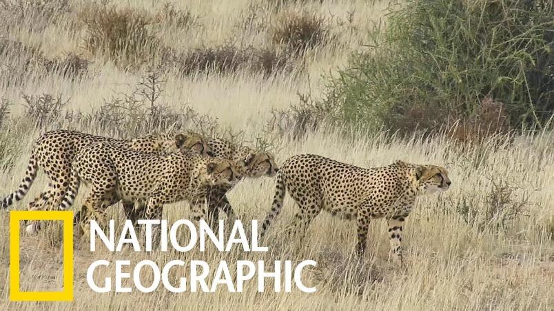 這四頭雄性獵豹在看什麼?