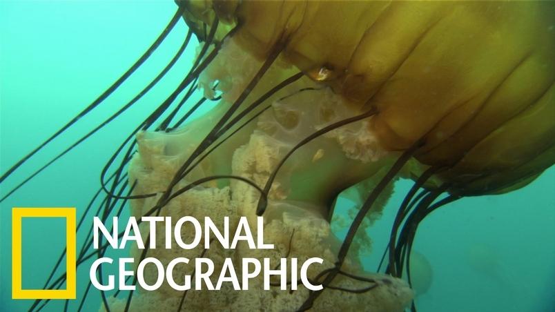 巨大的海蕁麻水母