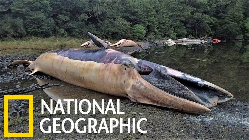 縮時攝影:337頭鯨魚的腐爛過程