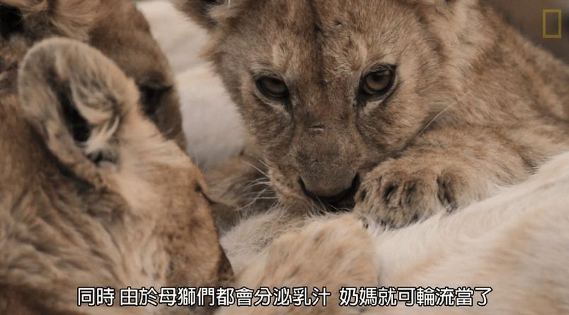 每日酷知識:母獅「經期」竟也逗陣行