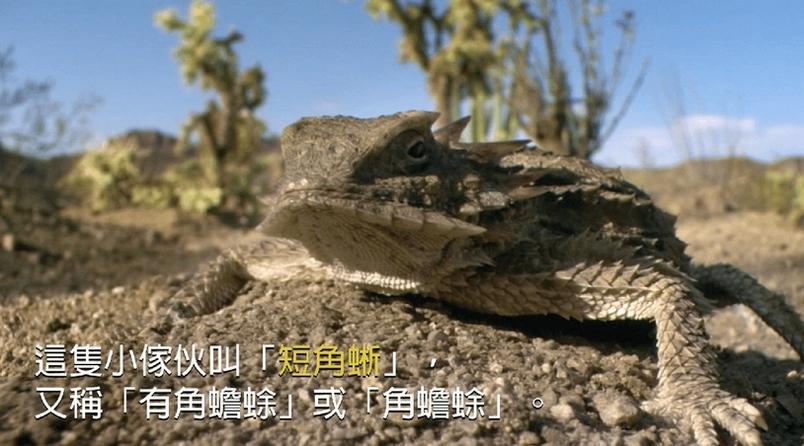 角蜥禦敵絕招:目珠噴血