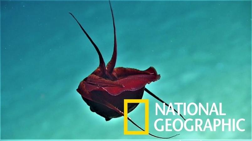 罕見畫面:神祕深海魷魚現蹤墨西哥灣