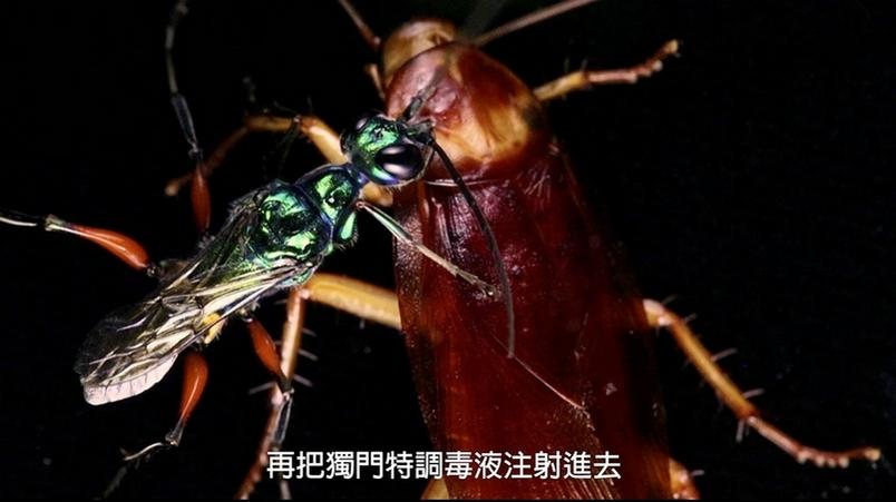 每日酷知識:黃蜂竟會把蟑螂變成殭屍!