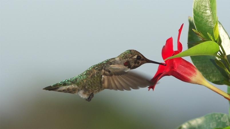每日酷知識:蜂鳥是鳥界大胃王