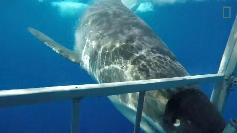有驚無險!大白鯊撞入鯊籠內部