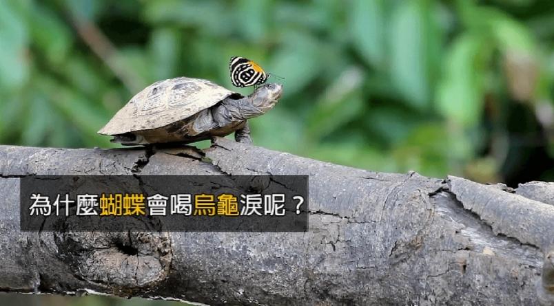你知道蝴蝶會喝烏龜淚嗎?