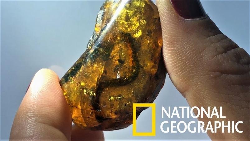 罕見!9900萬年琥珀中驚見幼蛇化石