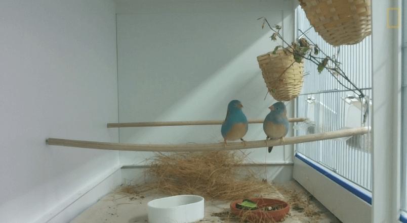 藍頂藍飾雀:能歌善舞贏芳心