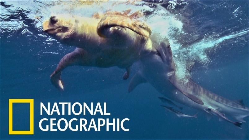 海龜是鯊魚的夾心餅乾?