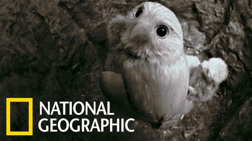 住在樹洞中的「迷你貓頭鷹」