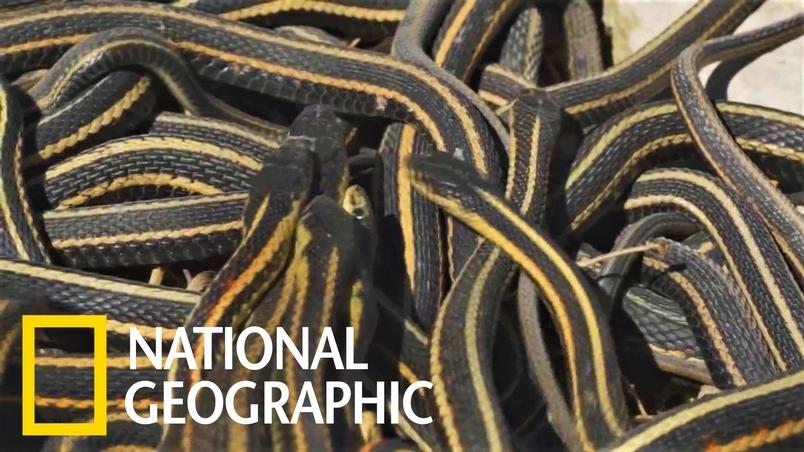 密集恐懼症和恐蛇症慎入!「餓肚子交配」導致雄襪帶蛇的壽命比雌蛇要短