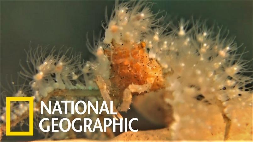 這隻「箭蟹」為何穿著毛茸茸的珊瑚大衣?