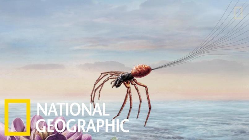 解碼自然:靠電力翱翔的飛天蜘蛛