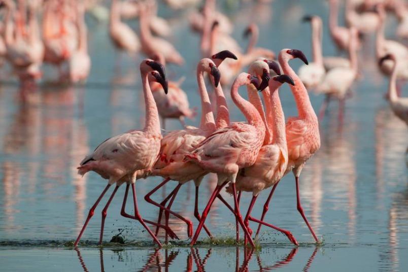 有趣的研究發現,愈粉紅的紅鶴攻擊性愈強!