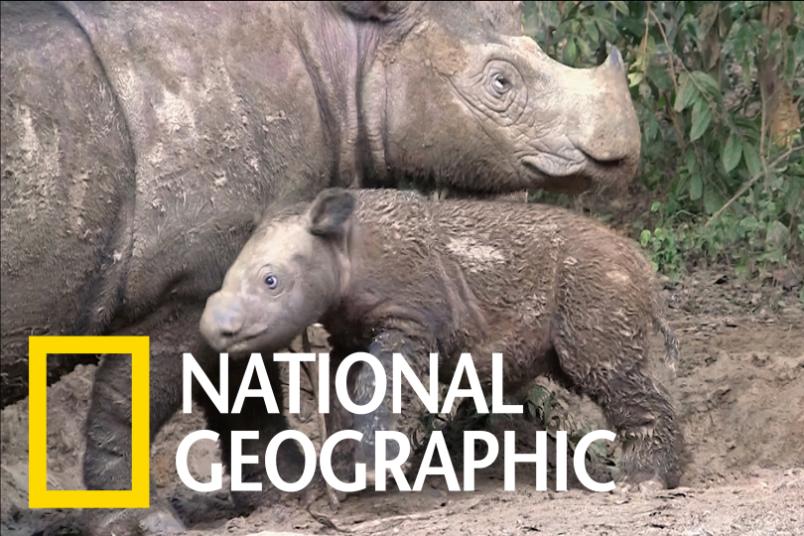 遊走在滅絕邊緣的蘇門答臘犀