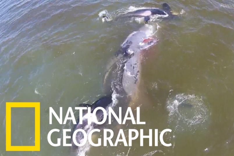 看虎鯨群合作獵捕一頭弓頭鯨