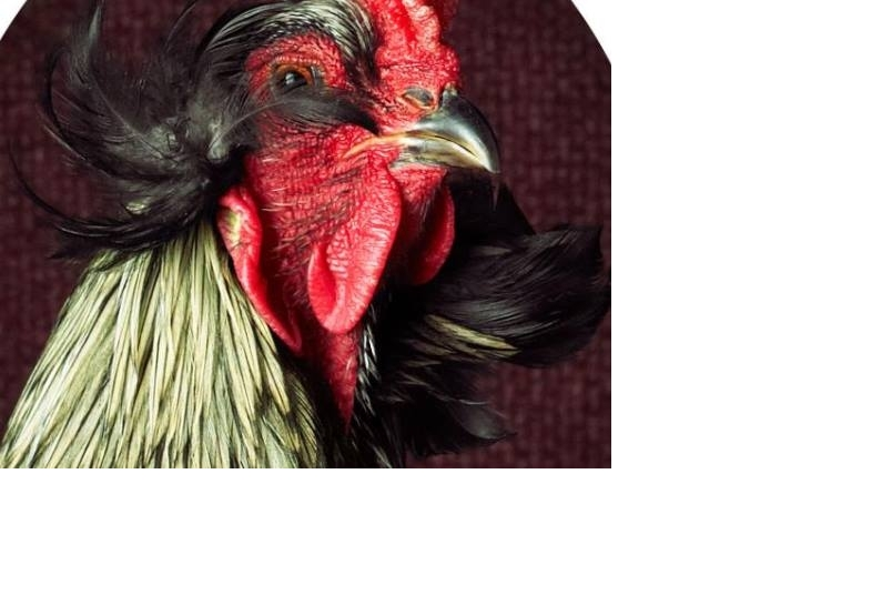 此雞只應天上有:七張皇家照拍出雞的優雅