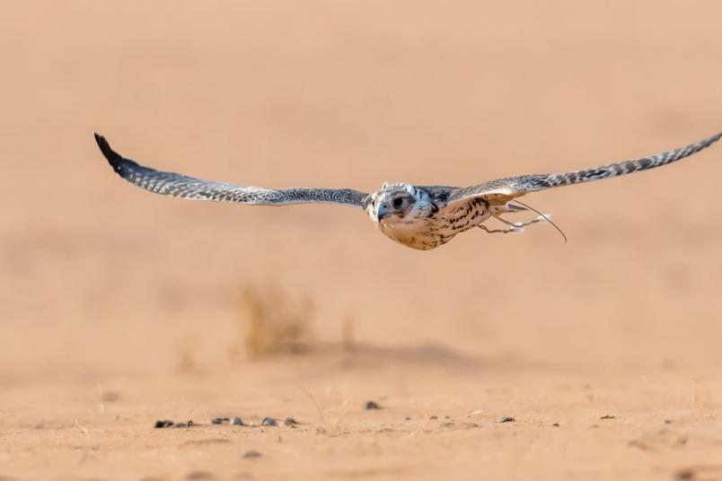 沙烏地獵鷹