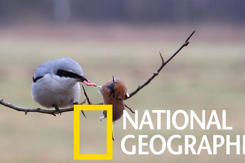 這些是自然界中最「暴力」或「憤怒」的鳥嗎?