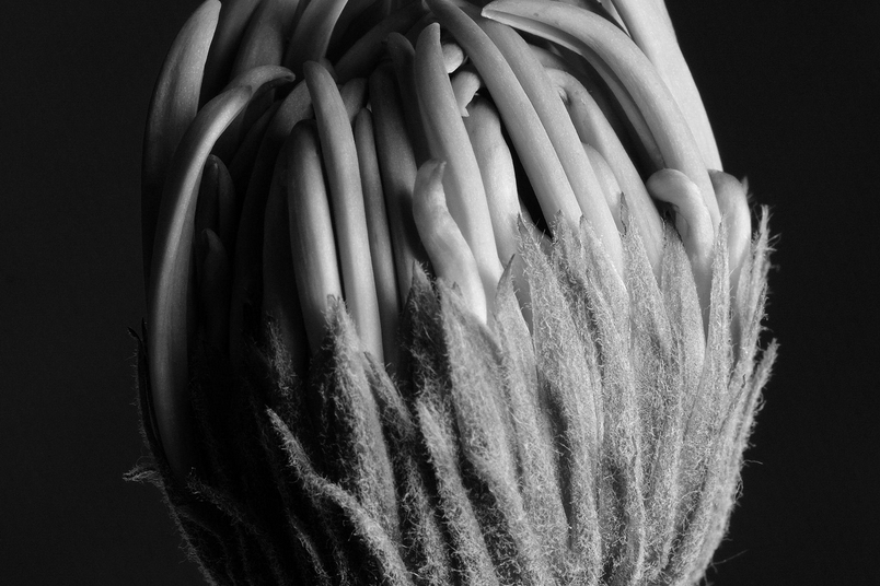 大丁草屬雛菊