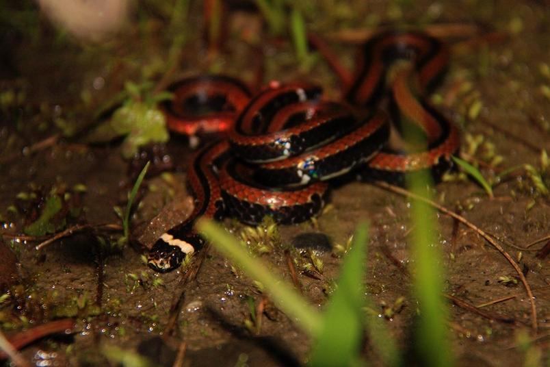 森林底層怡然自得的獨行者-羽鳥氏帶紋赤蛇