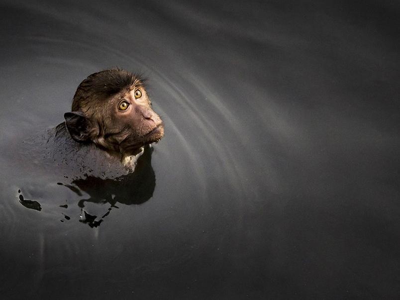等待之間:游泳的猴子