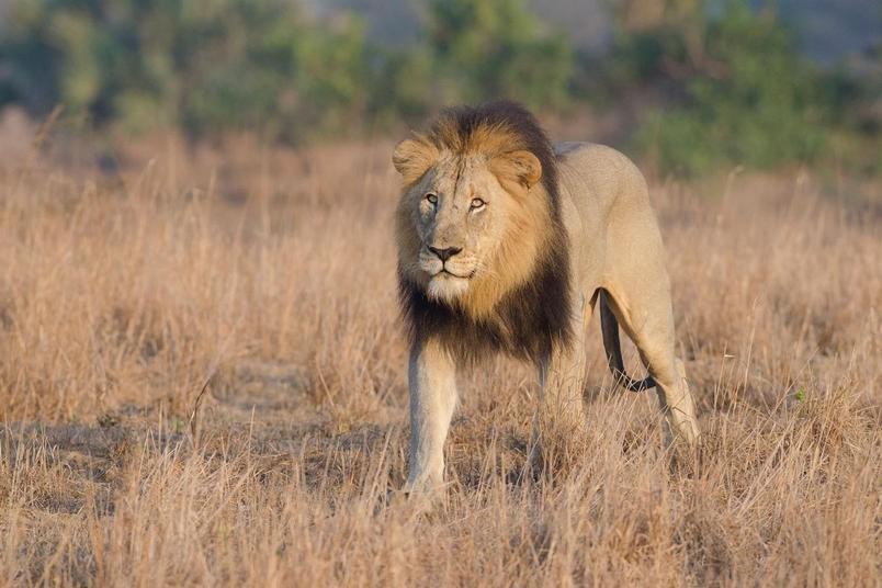 三個犀牛盜獵者疑似成了獅子的大餐