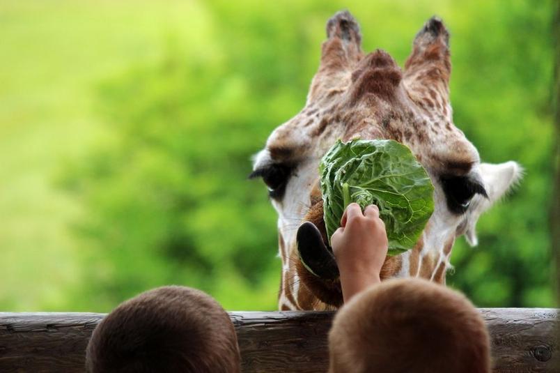 男孩餵食長頸鹿