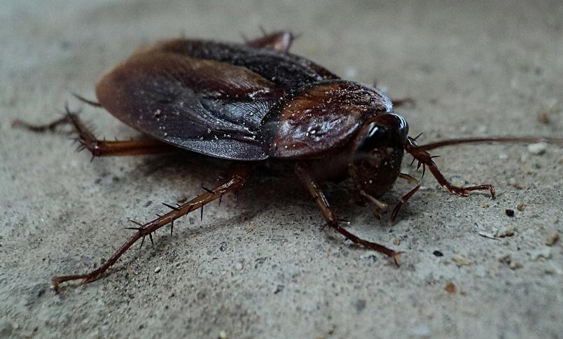 除不盡的蟑螂:沒有 「男人」也能生生生