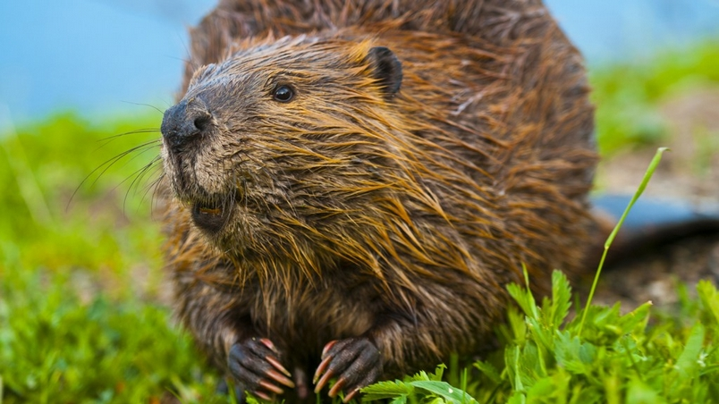 【動物好朋友】美洲河狸(Beaver)