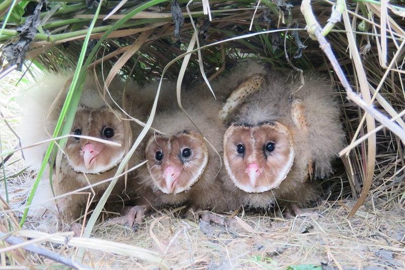 滅鼠藥、燒山墾地……草鴞命運岌岌可危