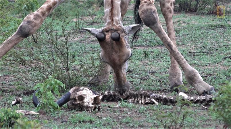長頸鹿竟然也會吃骨頭?!