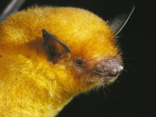 發現新種黃金蝙蝠