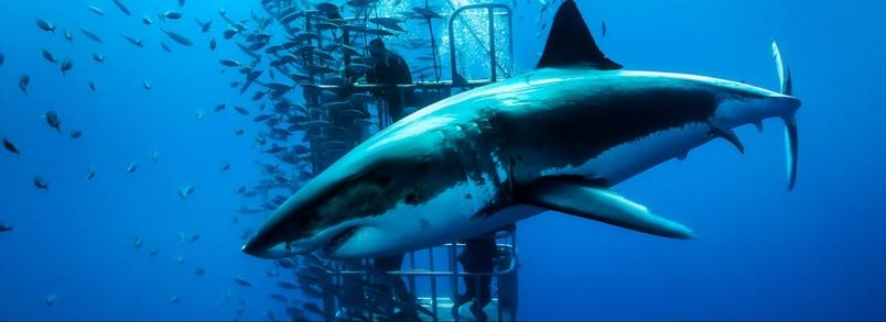 大白鯊其實很怕人?聽聽專家怎麼說