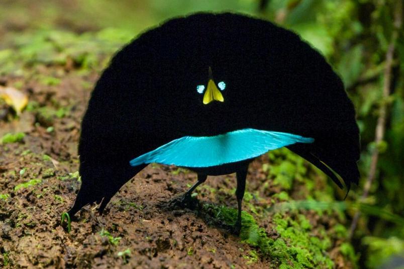 唯「舞」獨尊的新種天堂鳥