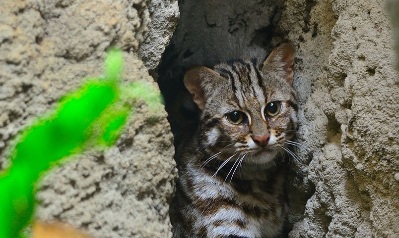 石虎不是虎斑貓