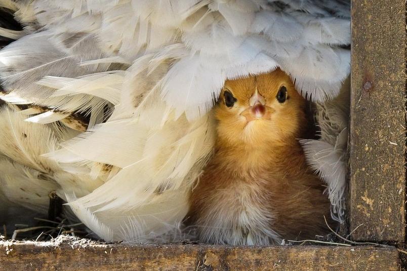 雞年圖集:祝您新年「雞」祥富貴